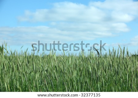 Wheat field on a sunny spring day with blue skies and a few clouds.