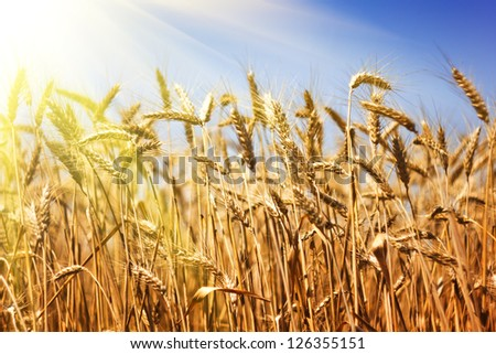 Wheat field on blue sky - stock photo