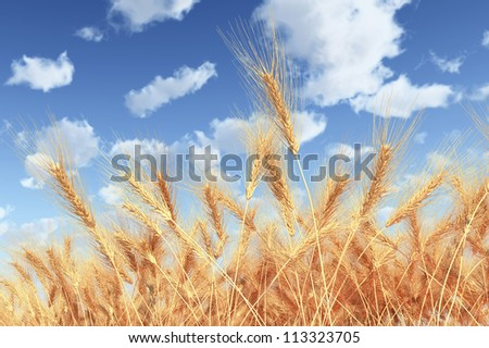 Wheat Field on Sky Background - High Quality Render