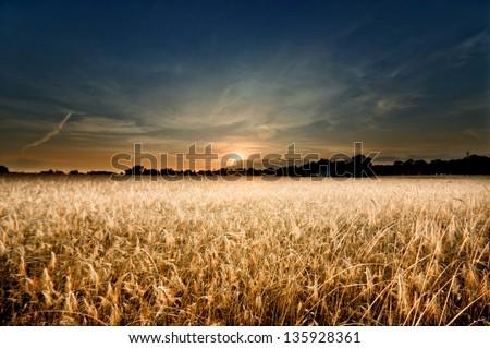 wheat field on sunset - stock photo