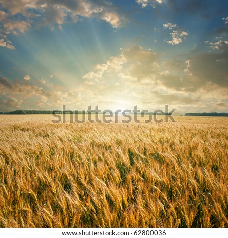 wheat field on sunset - stock photo