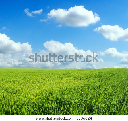 Wheat field over beautiful blue sky
