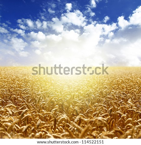 Wheat field over blue sky - stock photo