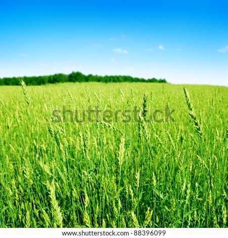 Wheat field over blue sky in summertime. - stock photo