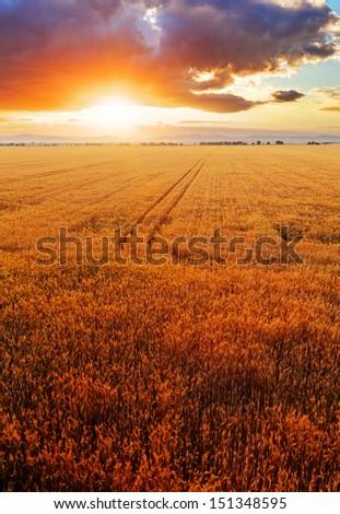 Wheat field over sunset - stock photo