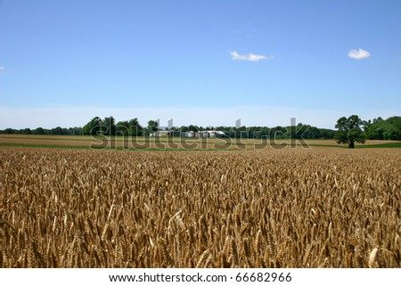 Wheat field ripe for harvest in rural New Jersey. - stock photo