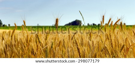 Wheat field ripe grow, agriculture - stock photo