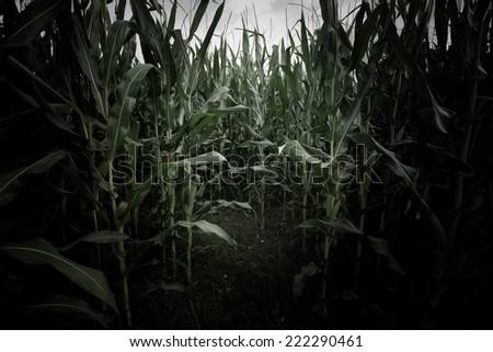 wheat field scary scene - stock photo