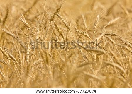 Wheat field sheafs wind close up ripe and yellow - stock photo