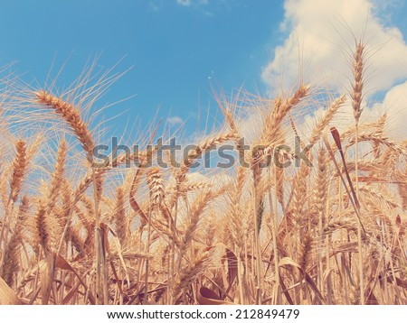 Wheat field sky background done with a vintage retro instagram filter