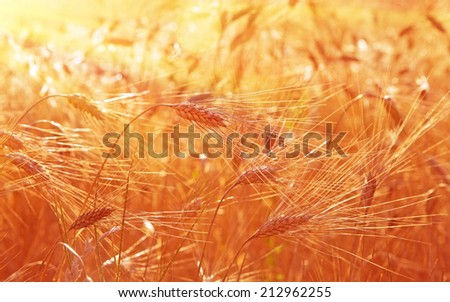 Wheat field sunny landscape, closeup on rye with selective focus, beautiful autumn season, warm dreamy sunset light over wheat field - stock photo