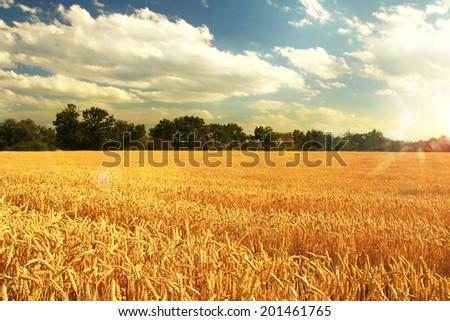 wheat field sunset - stock photo