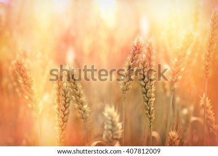 Wheat field - sunset in wheat field