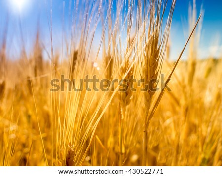 Wheat field under a beautiful blue sky