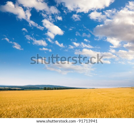Wheat field under a cloudy sky. - stock photo