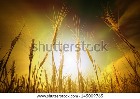 Wheat field under blue sky. Golden sunset in wide meadow. Ukraine.