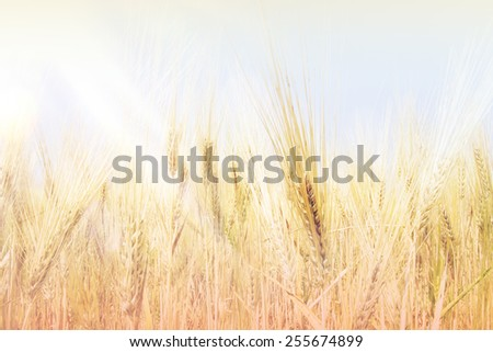 Wheat field under clear blue sky and sunshine. Vintage effect.  - stock photo