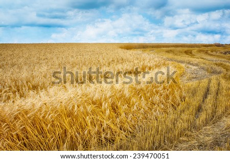 Wheat field under clouds ready for harvest.