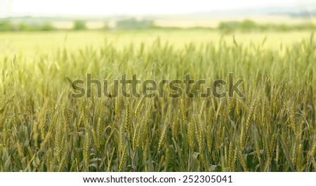 Wheat field view - stock photo
