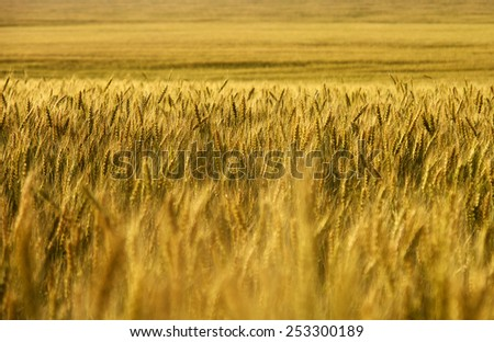 Wheat field. wheat crop. Wheat field stretching into the distance to the horizon. - stock photo