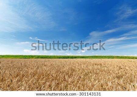 wheat field / wheat field on the background cornfield Ukraine - stock photo