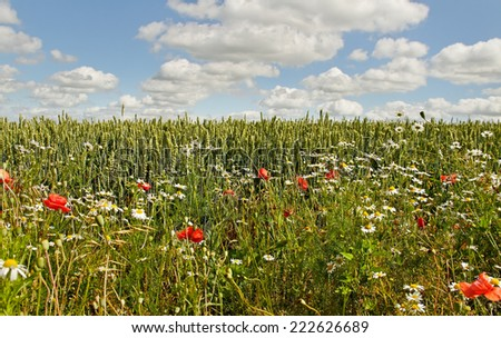 Wheat field with beautiful weeds. - stock photo