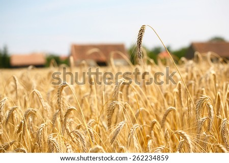 wheat field with blue sky and clouds and houses in background - stock photo