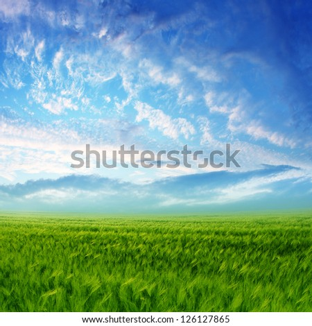 Wheat field with blue sky and white clouds - stock photo