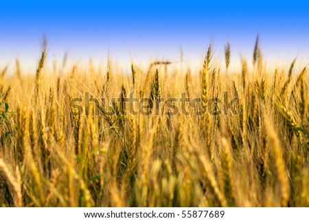 Wheat field with blue sky. Shallow deep of field - stock photo