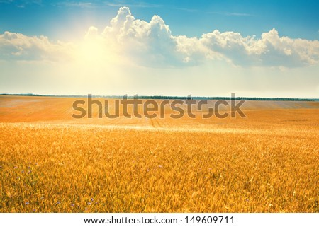 Wheat field with blue sky with sun and clouds - stock photo