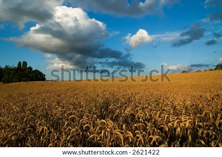 Wheat field with clouds - stock photo