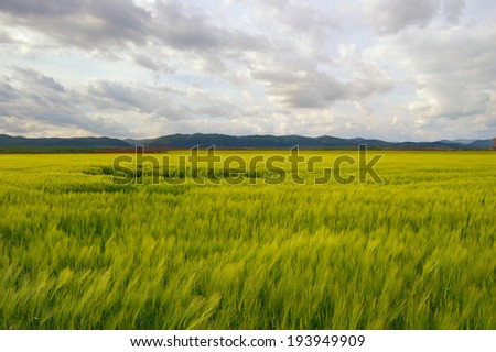wheat field with cloudy sky