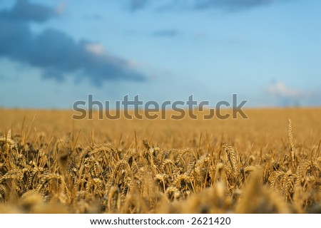Wheat field with nice small DOF - stock photo