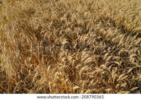 Wheat field with ripe ears  - stock photo