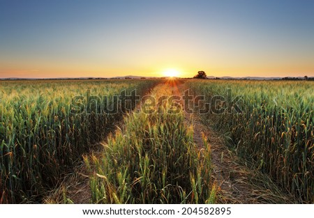 Wheat field with sun - stock photo