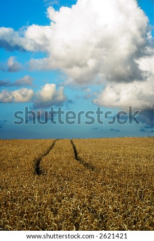 Wheat field with traces from tractor - stock photo