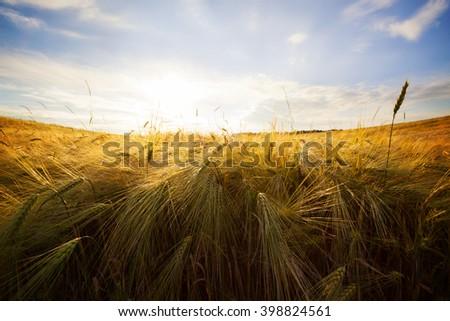 Wheat field. Yellow wheat field and sunset. - stock photo