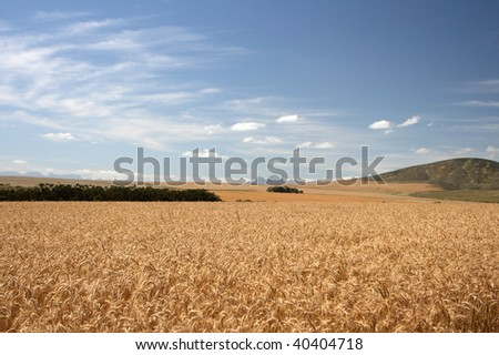 Wheat fields on a sunny day under a blue sky