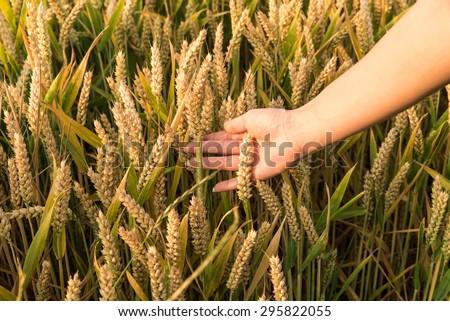Wheat grain in the female hand - stock photo