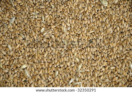 wheat grains in bulk - stock photo
