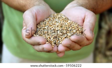 wheat grains in man hands closeup outdoor - stock photo