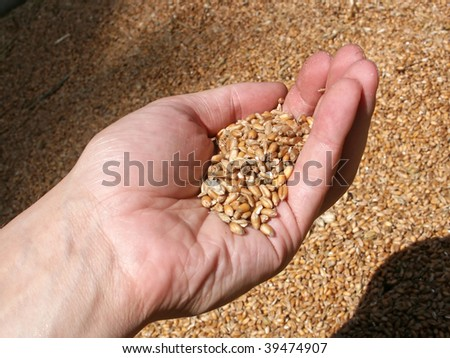 Wheat grains in palm