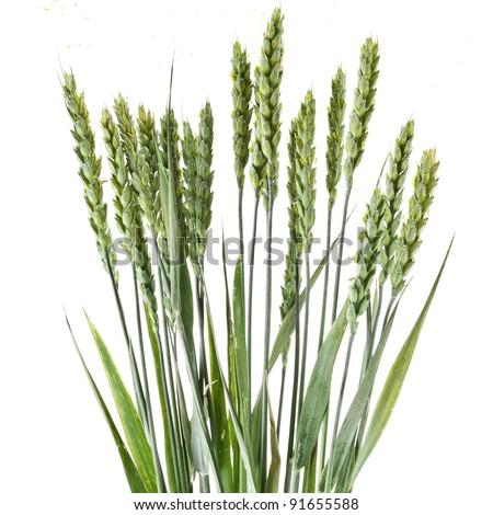wheat grains on white background - stock photo