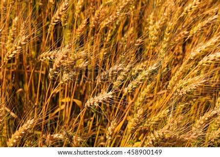 Wheat growing in Bucks County Pa outside local farm in summertime.