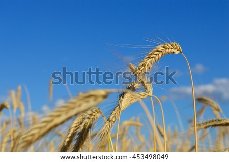 Wheat growing on a field and blue sky