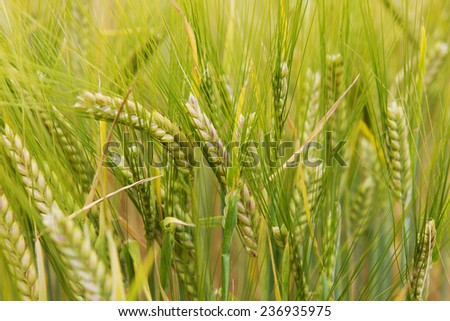Wheat grows on the field - stock photo