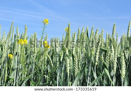 wheat head seen from the front in a field with some rapeseed flowers - stock photo