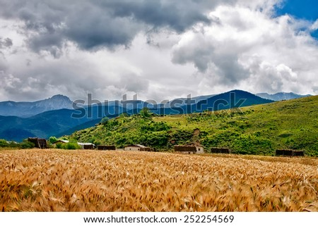 wheat heads on a field with mountains on a background in rural area - stock photo
