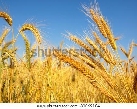 Wheat in a field,closeup - stock photo