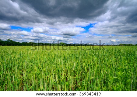 Wheat in a field in the midwest on a cloudy overcast day - stock photo